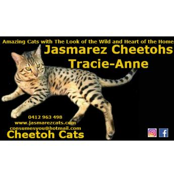 Cheetoh Kittens for sale - Adelaide