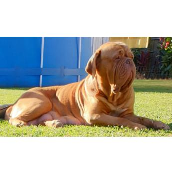 MOLOSSER dogue de Bordeaux puppies