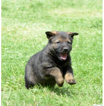 Purebred German Shepherd Workingline Puppies