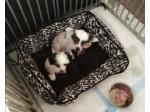 For Sale Chinese Crested puppies