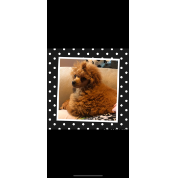 Toy poodle red litter 2021