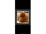 For Sale Toy poodle red litter 2021