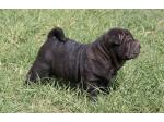 For Sale Shar Pei puppies