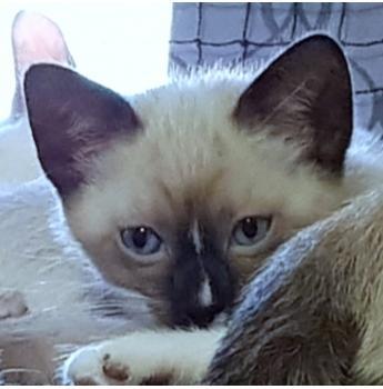 Rare Snowshoe Kitten -Seal Point Mitted (Light Blue Collar Boy)