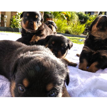 Rottweiler Puppies For Sale - Registered DogsNSW