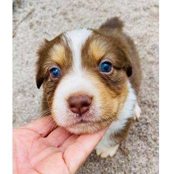 Zenderland Australian Shepherd Puppies