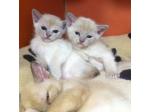 For Sale Burmese Kittens for sale - Canberra