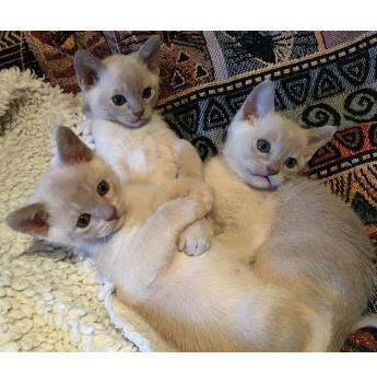 Burmese Kittens (4) for Sale - Lilac For Sale, NSW