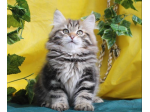 For Sale SIBERIAN KITTENS Due September - (HYPOALLERGENIC CATS)