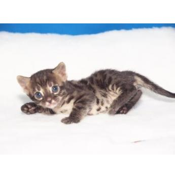 Registered Breeder - Bengal Kittens - Charcoal From Current Litter