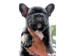 For Sale Pedigree French Bulldog Puppies