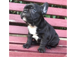 For Sale French Bulldog Puppies
