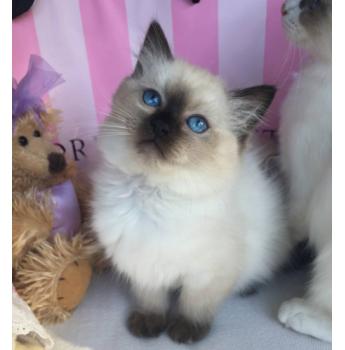 Ragdoll Kittens Registered  - Kitten from Previous Litter