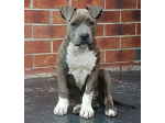 For Sale American Staffordshire Terrier Pup