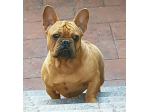 For Sale Male French Bulldog