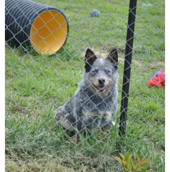 Australian Cattle Dog Puppies  - Pup from Previous Litter