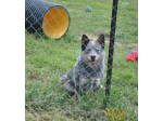 For Sale Australian Cattle Dog Puppies