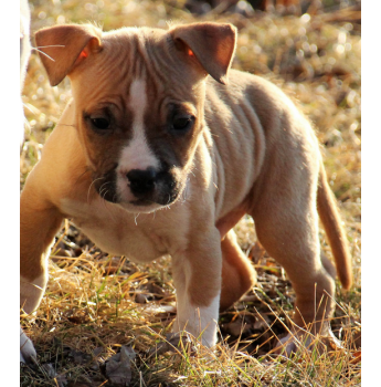American Staffordshire Terrier Puppies - Pup from Previous Litter