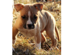For Sale American Staffordshire Terrier Puppies