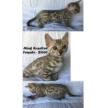 Champion Bloodlines - Bengal Kittens - Mink Spotted Female - $1600