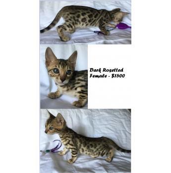 Champion Bloodlines - Bengal Kittens - Dark Spotted Female - $1500