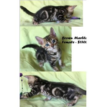 Champion Bloodlines - Bengal Kittens - Brown Marble Female - $1500