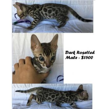 Champion Bloodlines - Bengal Kittens - Dark Spotted Male - $1500