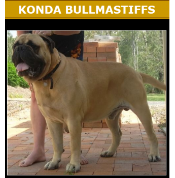 Konda Bullmastiff Puppies