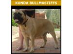 For Sale Konda Bullmastiff Puppies
