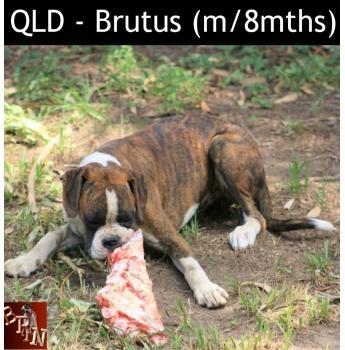 QLD - Brutus (m/8m)