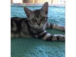 For Sale American Shorthair Kitten