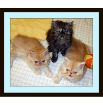 Pedigree Persians & Maine Coon Kittens - Previous litter