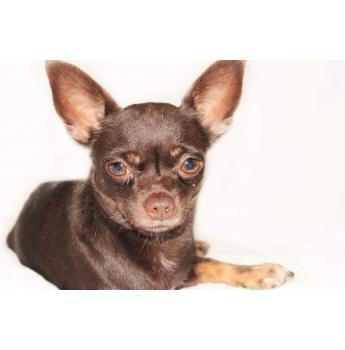 Smooth Coat Chihuahua Puppies - Lord Cadbury
