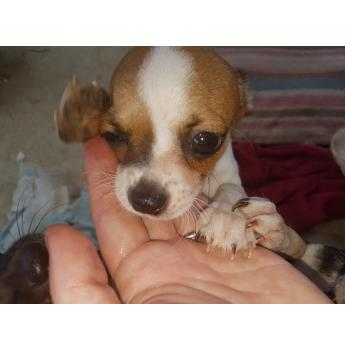 Smooth Coat Chihuahua Puppies - Cookie 1