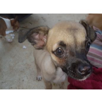 Smooth Coat Chihuahua Puppies - Nibble 3