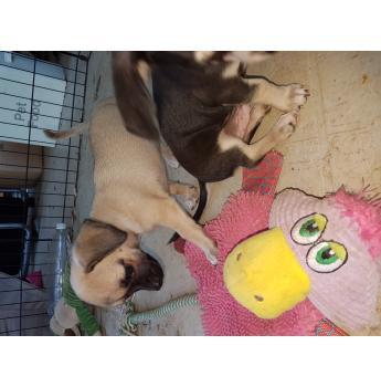 Smooth Coat Chihuahua Puppies - Nibble 2