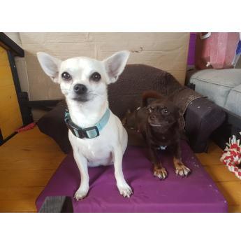 Smooth Coat Chihuahua Puppies - Flirt & Lord Cadbury
