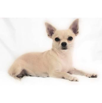 Smooth Coat Chihuahua Puppies - Flirt