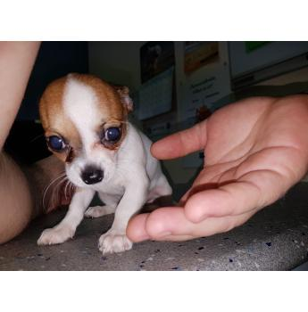 Smooth Coat Chihuahua Puppies - Cookie 3