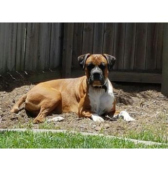 QLD - Buster (m/3y) - Male Boxer