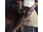 For Sale Chocolate Oriental Kitten