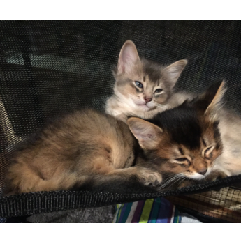 Available at Easter - Blue Somali Kittens  - Blue boy with tawny sibling