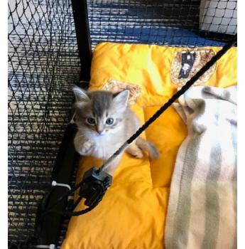Available at Easter - Blue Somali Kittens  - blue girl