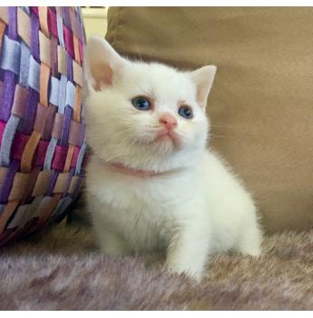 SCOTTISH FOLDS & SCOTTISH SHORTHAIR KITTENS - White (light pink collar)