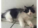 For Sale Siberian Kitten