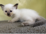 For Sale Birman Kittens