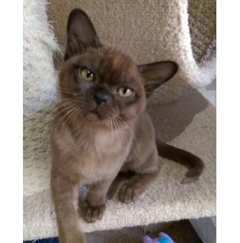 BEAUTIFUL HOME REARED BURMESE KITTENS  - Natmac previous kitten
