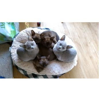 BEAUTIFUL HOME REARED BURMESE KITTENS  - Natmac cuddly sweet previous kittens
