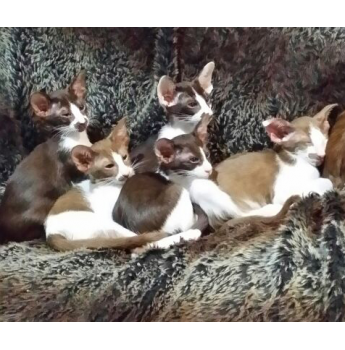 Siamese Tortie Point Kitten - Previous Litter