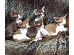 For Sale Siamese Tortie Point Kitten